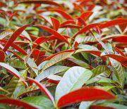 Cách chữa viêm da cơ địa bằng cây thuốc Nam